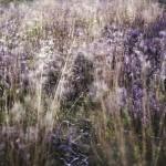 Stanton Moor Heather