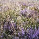 Stanton Moor Grass