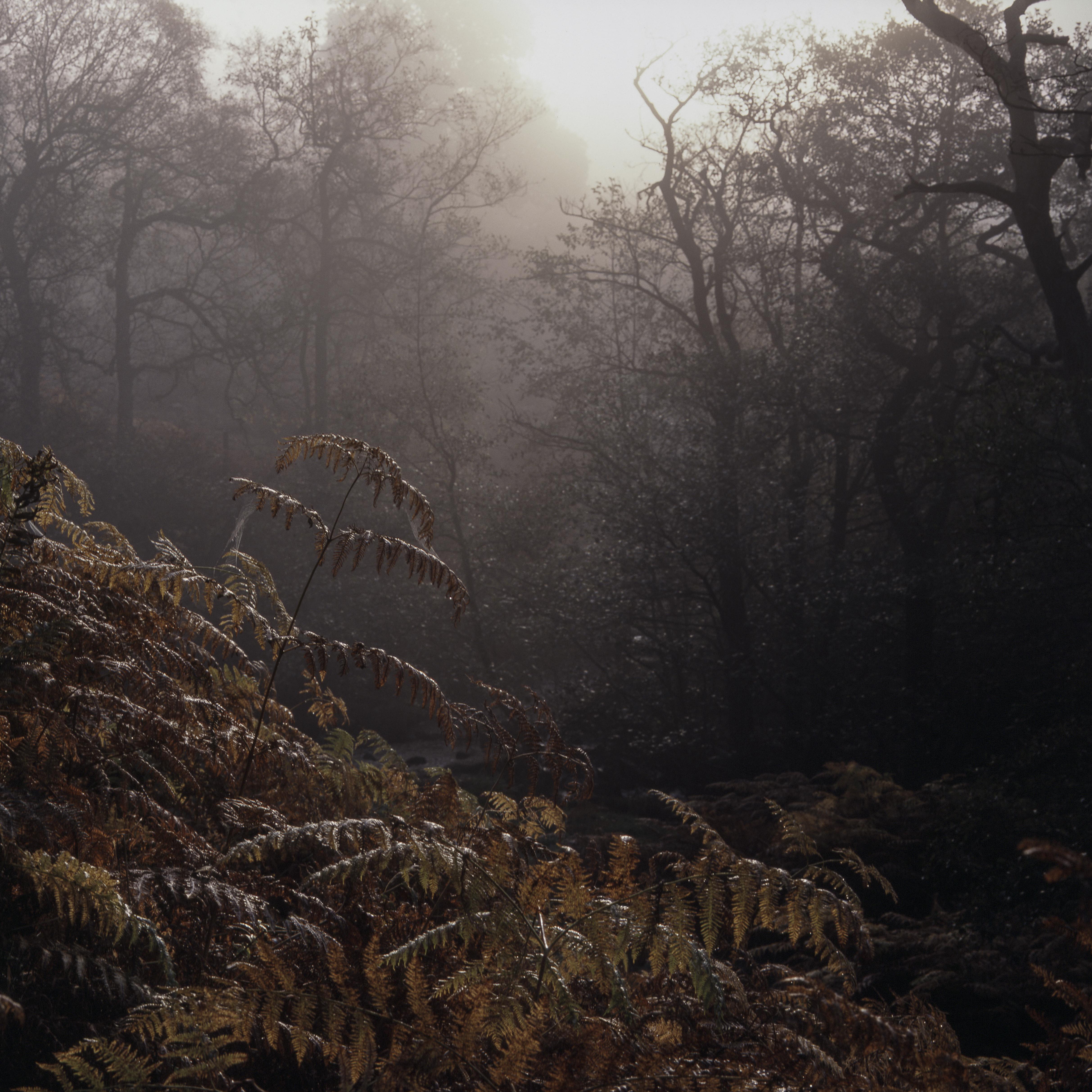 Bracken, Trees, Mist